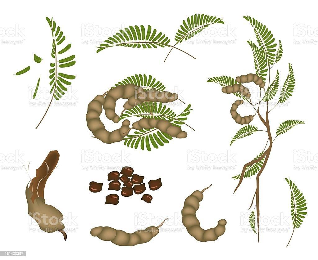 Set of Fresh Tamarind Pod and Leaves vector art illustration