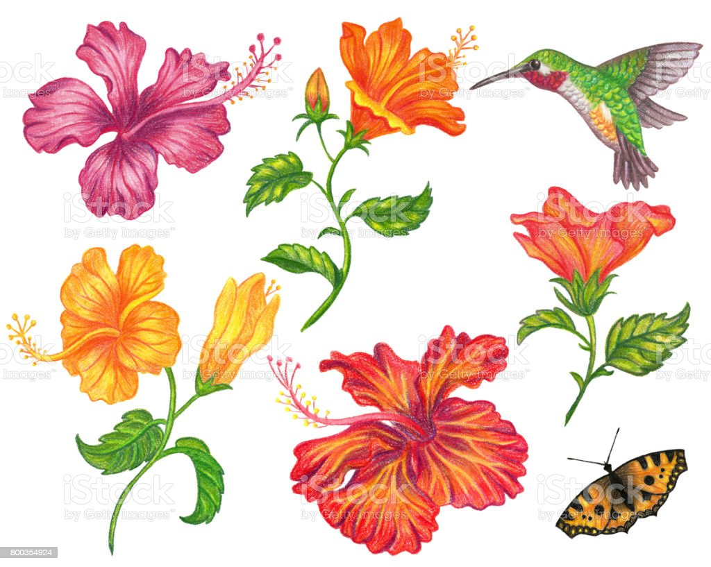Set of hibiscus flower stock vector art 800354924 istock butterfly insect flying plant season springtime set of hibiscus flower dhlflorist Image collections