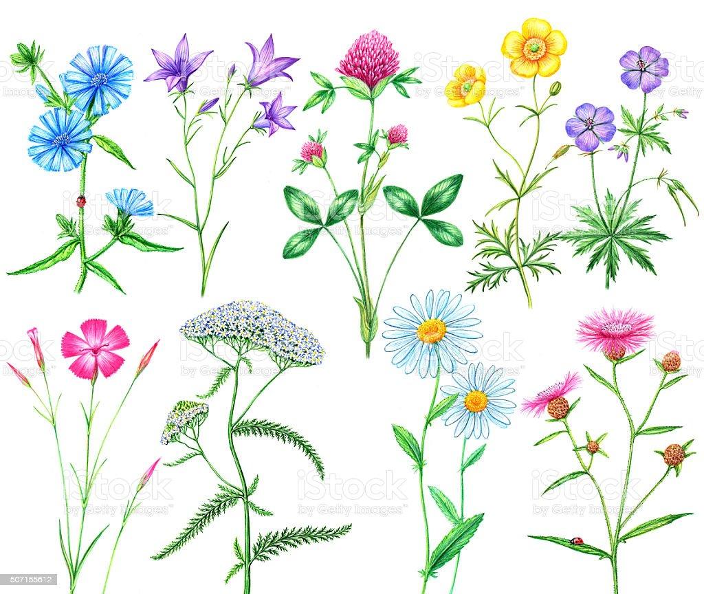 set of meadow flowers vector art illustration