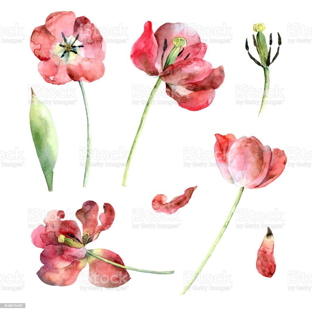 Set of red tulips vector art illustration
