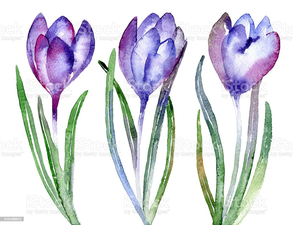 Set of violet flowers crocus vector art illustration