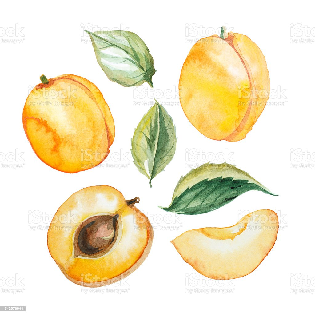 Set of watercolor apricot with leaf vector art illustration