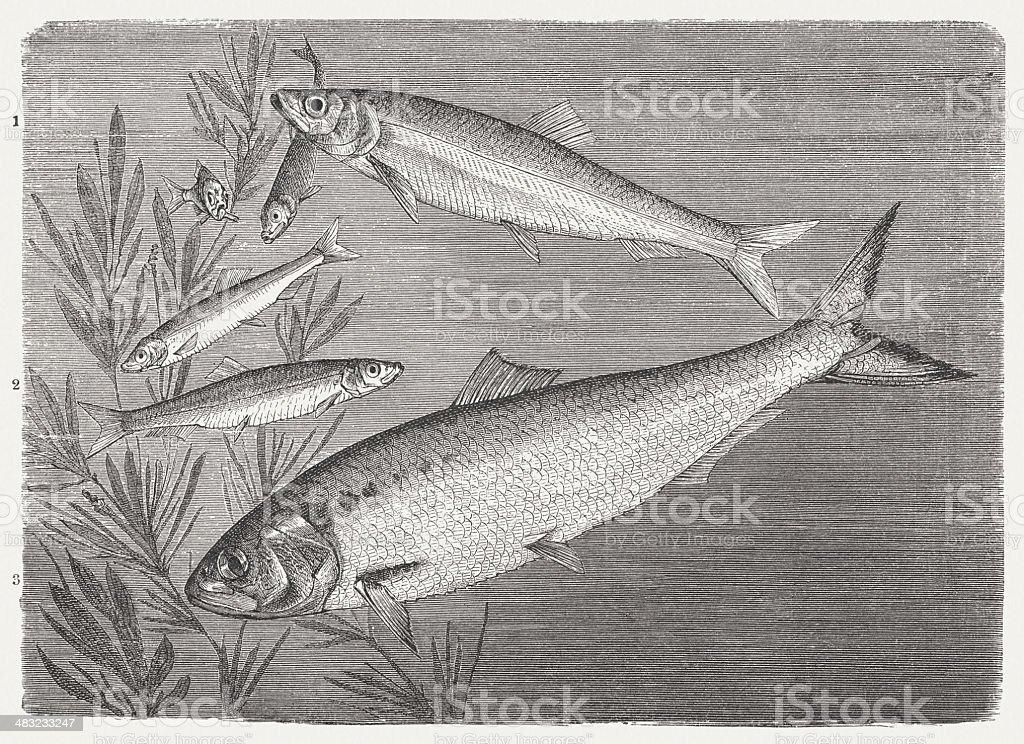Shad, Sprat and Herring vector art illustration