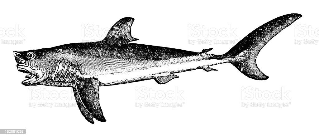 Shark | Antique Animal Illustrations royalty-free stock vector art