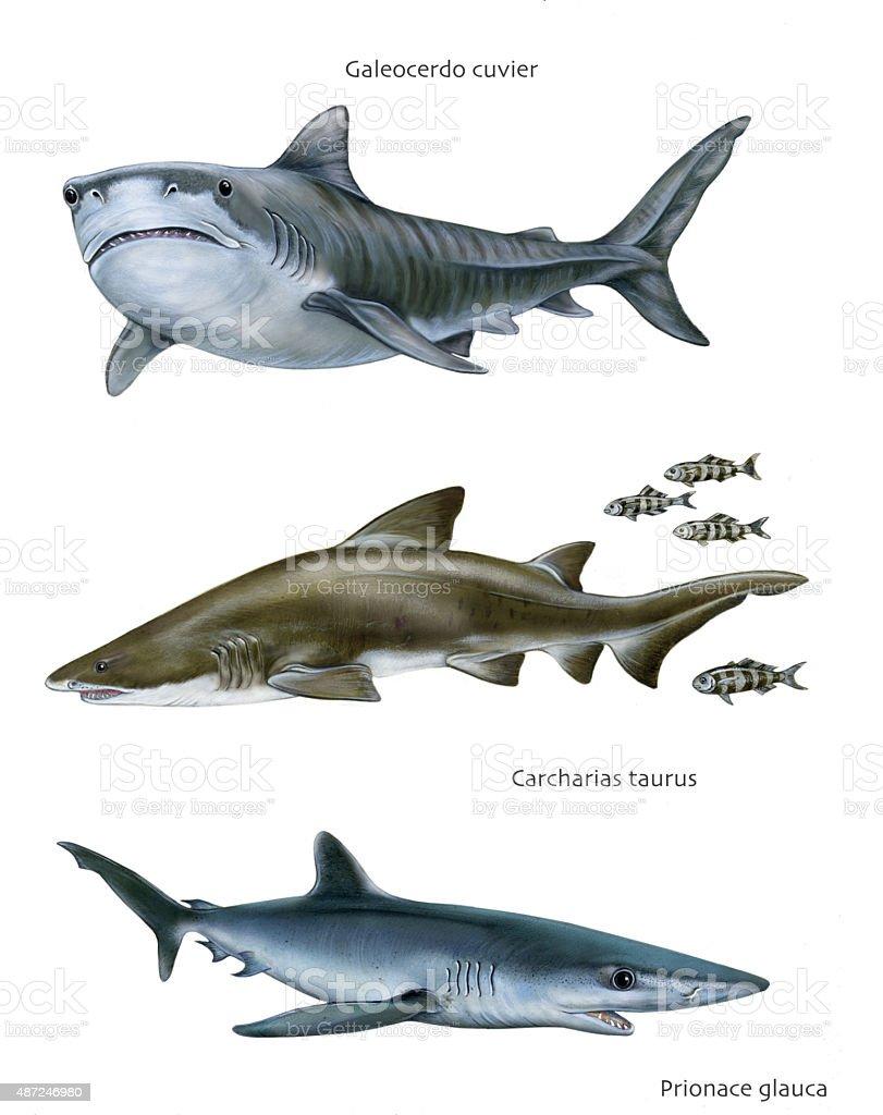 sharks vector art illustration