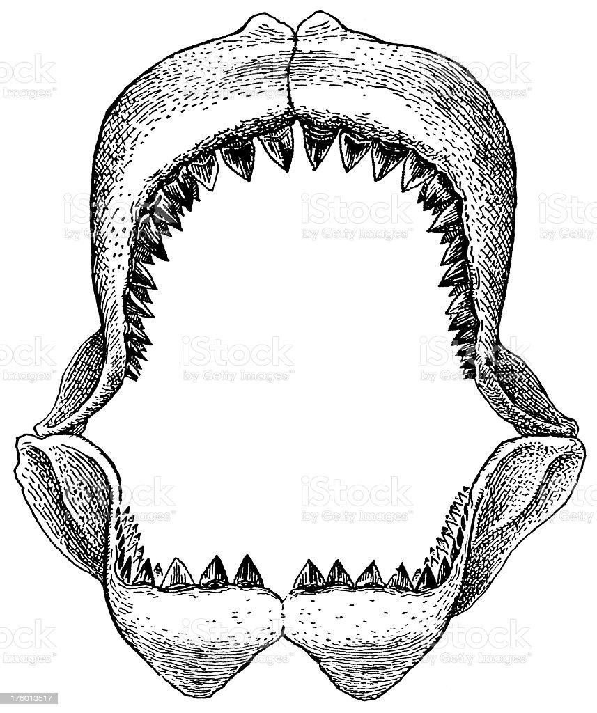 Shark's jaw vector art illustration