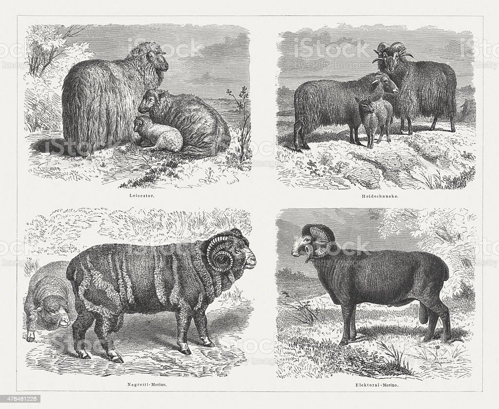 Sheep, published in 1878 vector art illustration