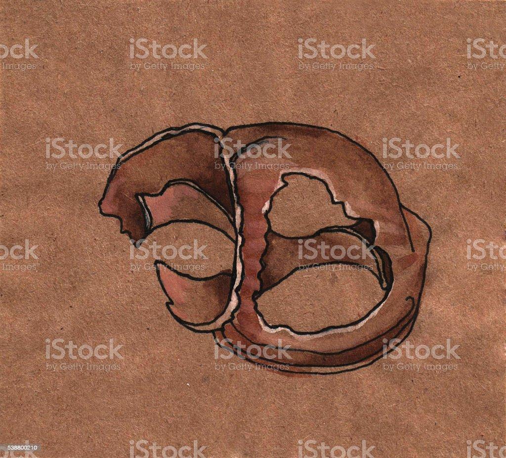 Shell vector art illustration