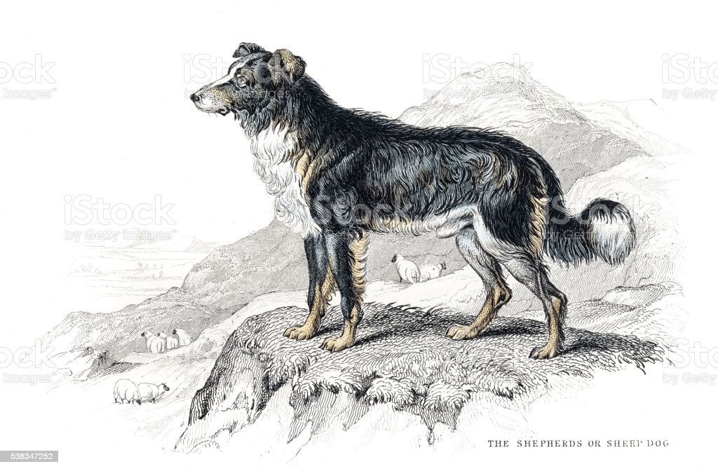 Shepherd dog engraving 1840 vector art illustration