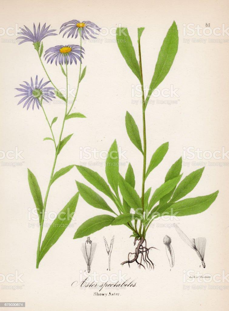 Showy aster botanical engraving 1843 vector art illustration