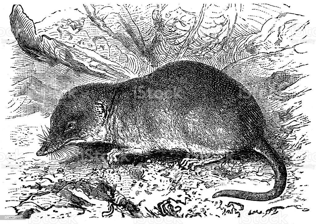 Shrew (Sorex vulgaris) vector art illustration