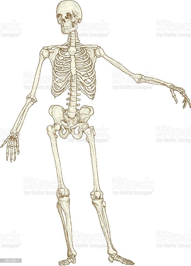 Skeleton drawing vector art illustration
