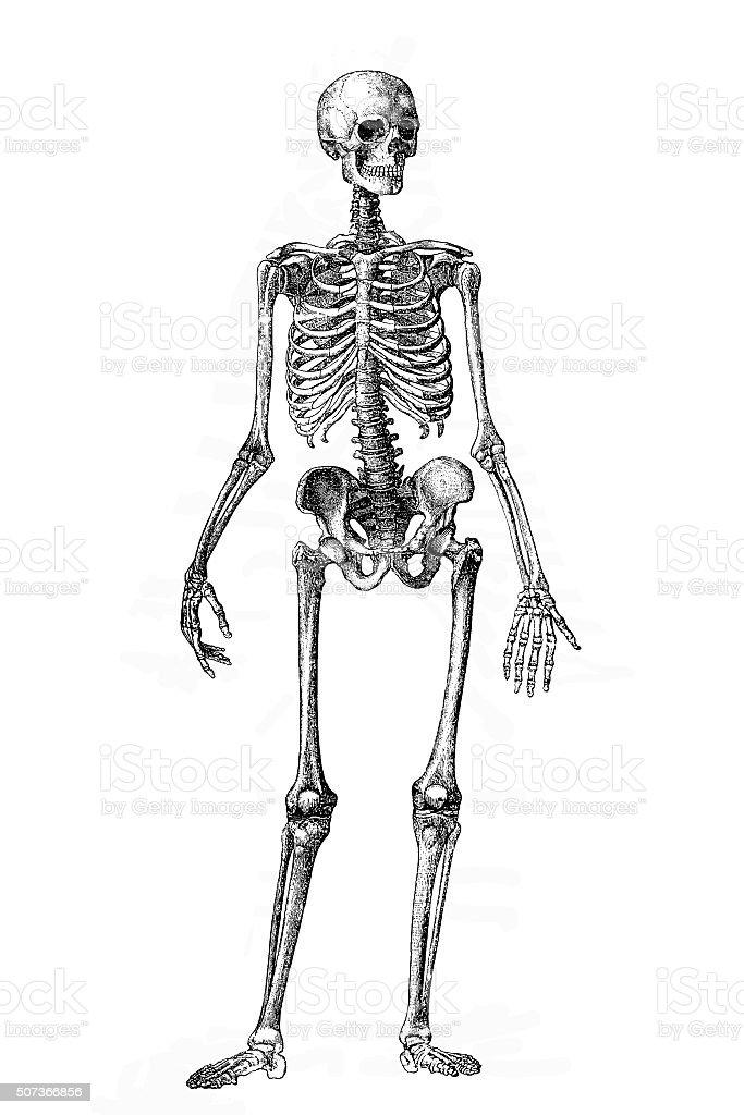 Skeleton vector art illustration
