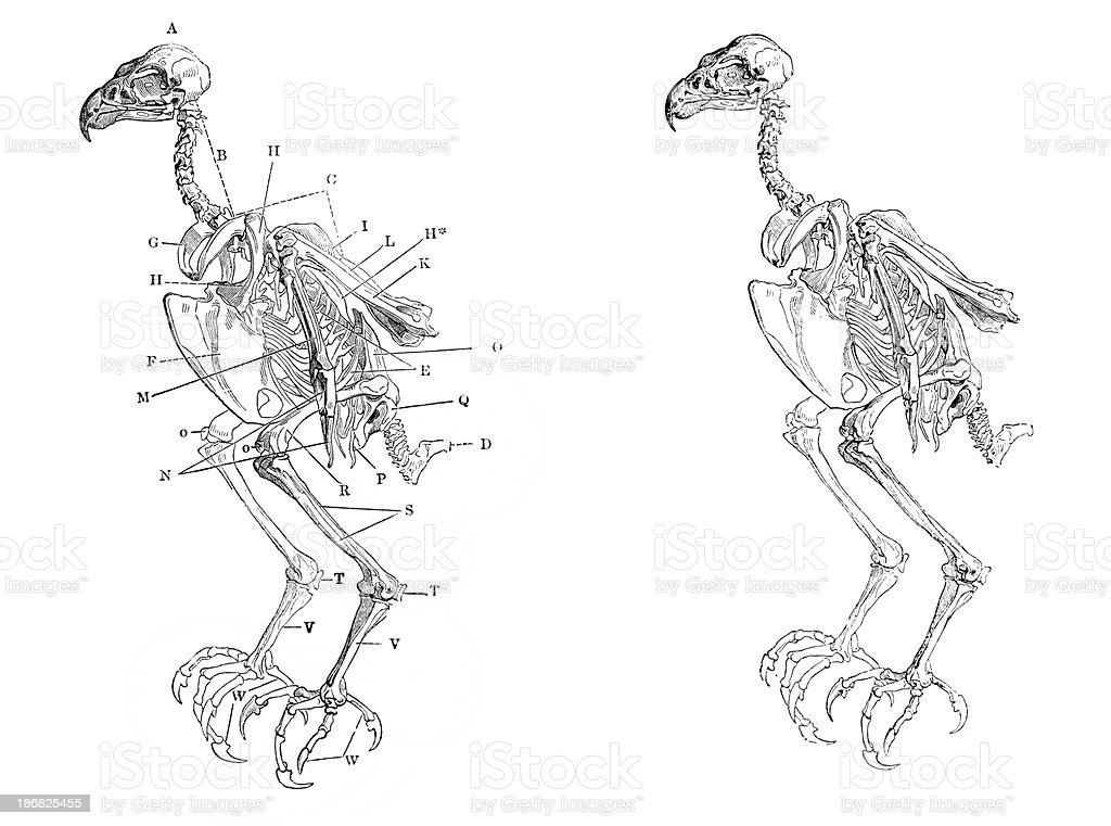 Skeleton of a Hawk royalty-free stock vector art