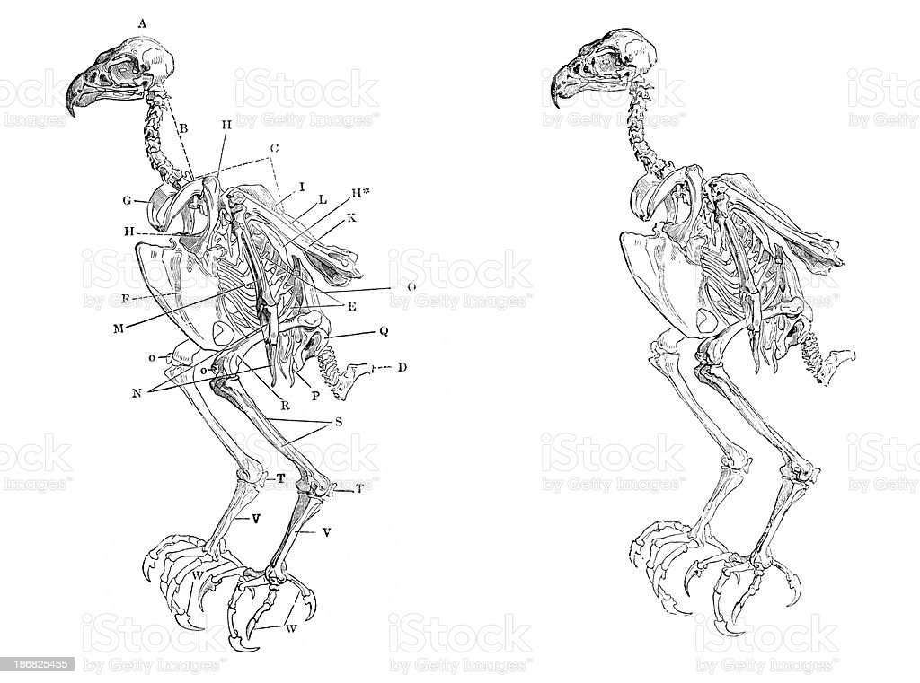 Skeleton of a Hawk vector art illustration