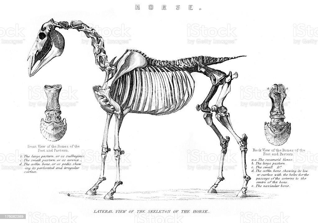 Skeleton of the Horse vector art illustration