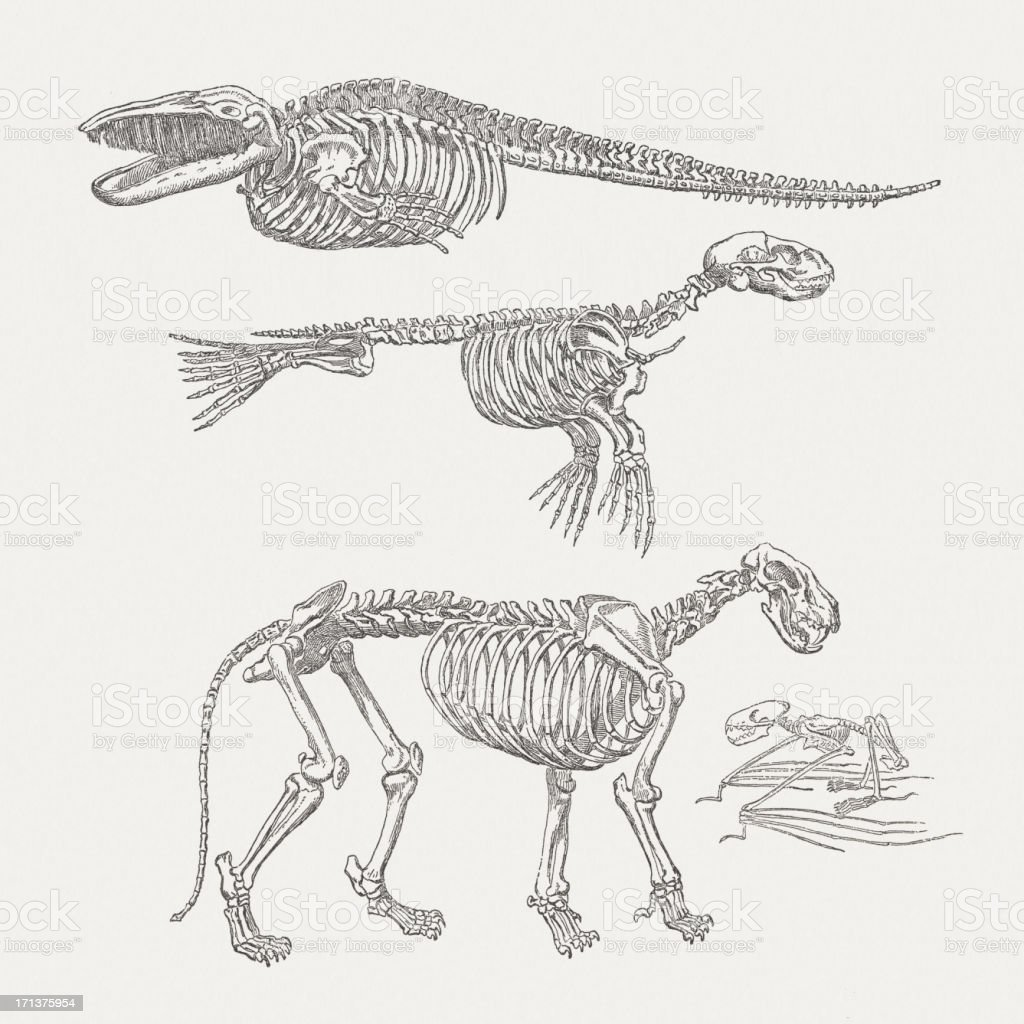 Skeleton of whale, harbor seal, lion and bat, published 1875 vector art illustration