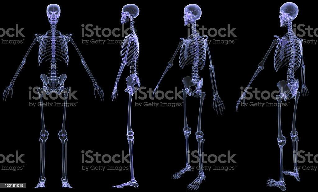 Skeleton-4 views x-ray vector art illustration
