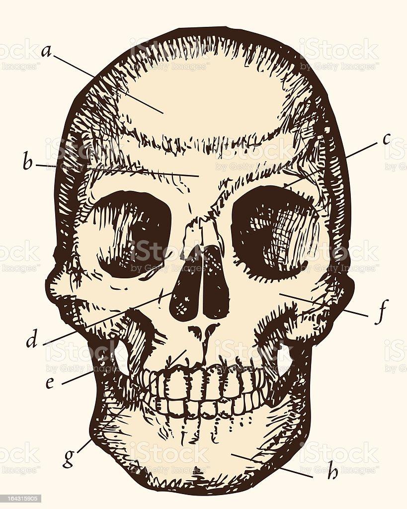 Skull etching royalty-free stock vector art