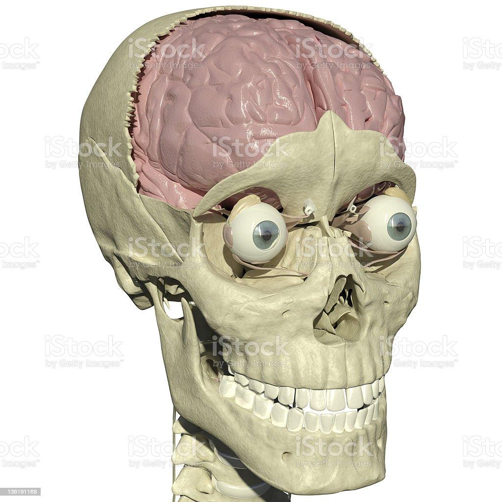 Skull with brain and eyes vector art illustration