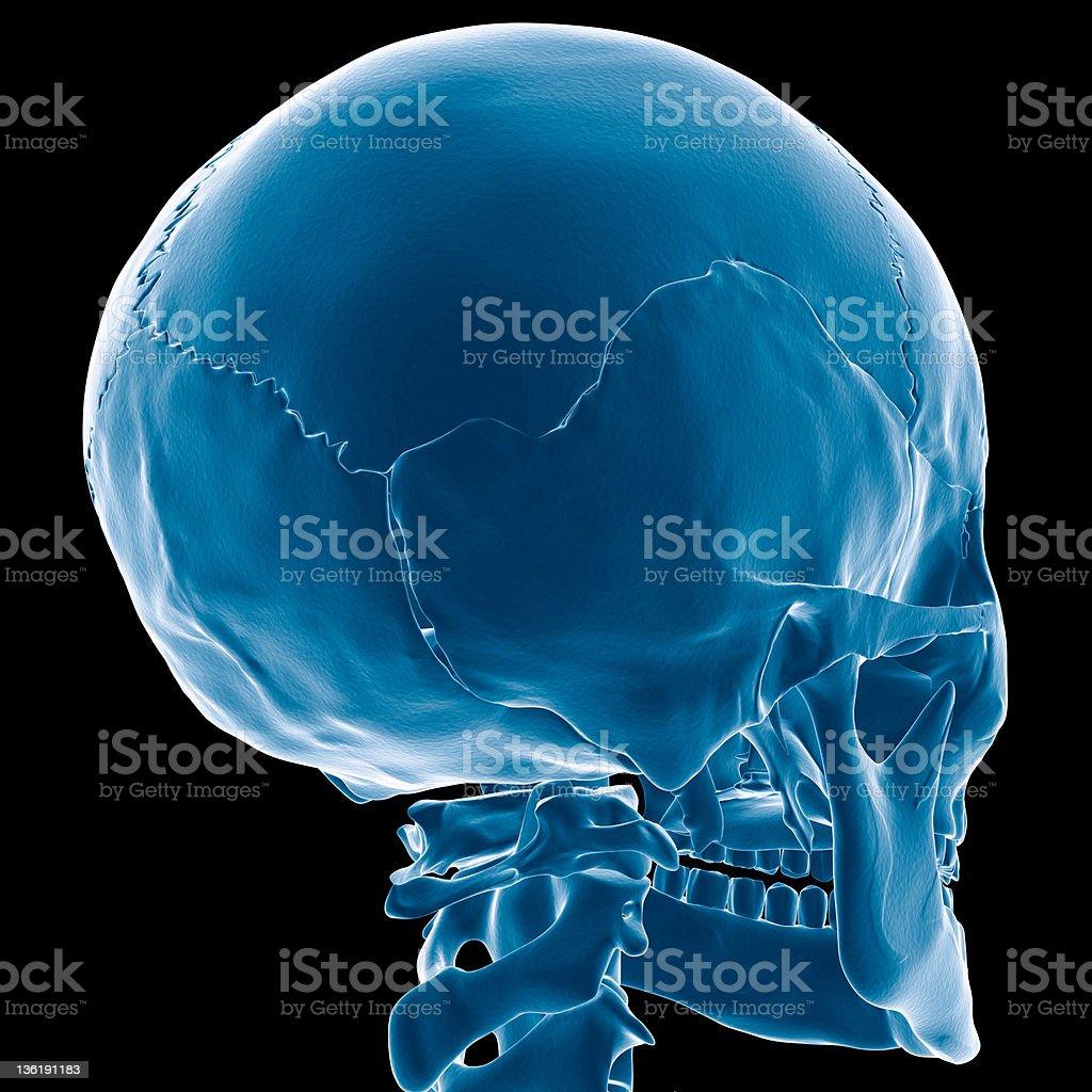 Skull x-ray perspective vector art illustration
