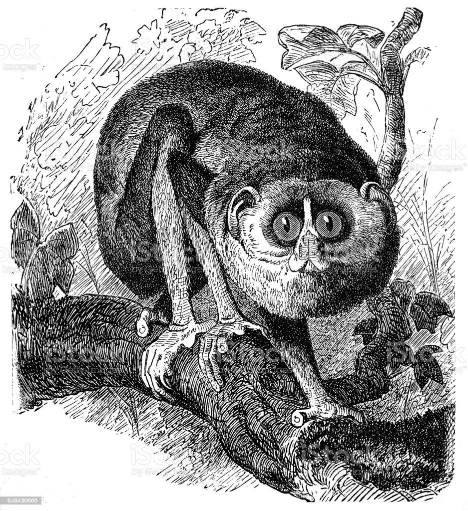 Slender Lorises (Stenops Gracilis) vector art illustration