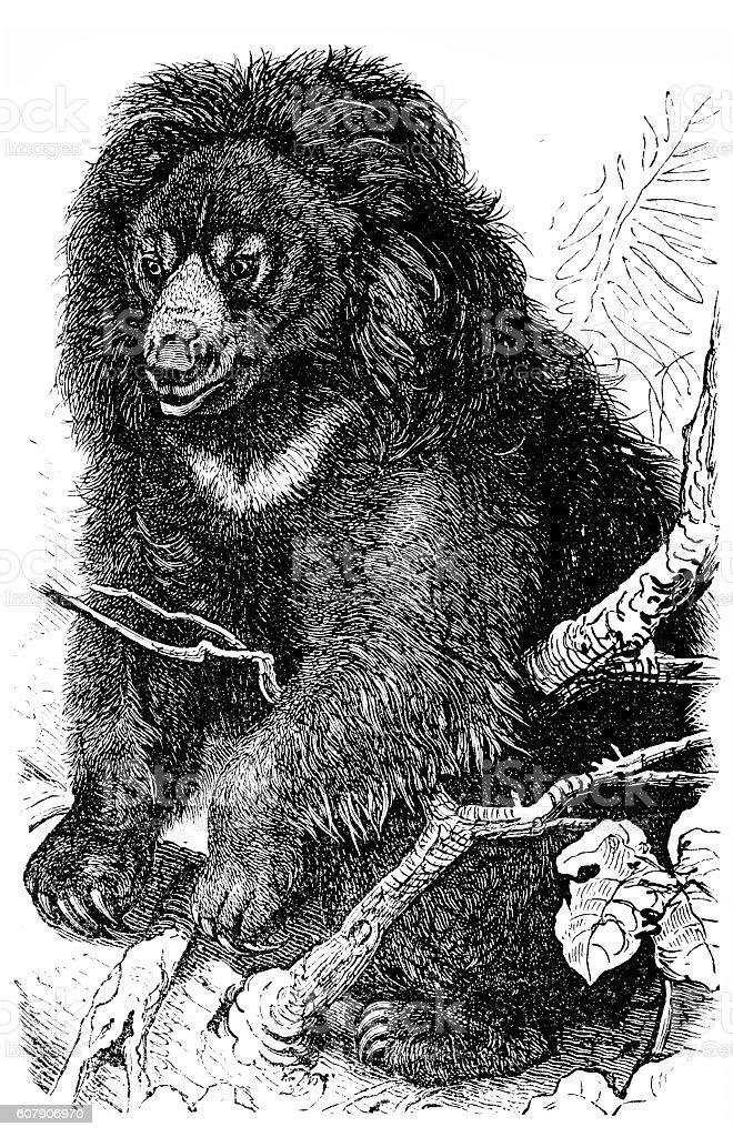 Sloth bear (Ursus ursinus) vector art illustration