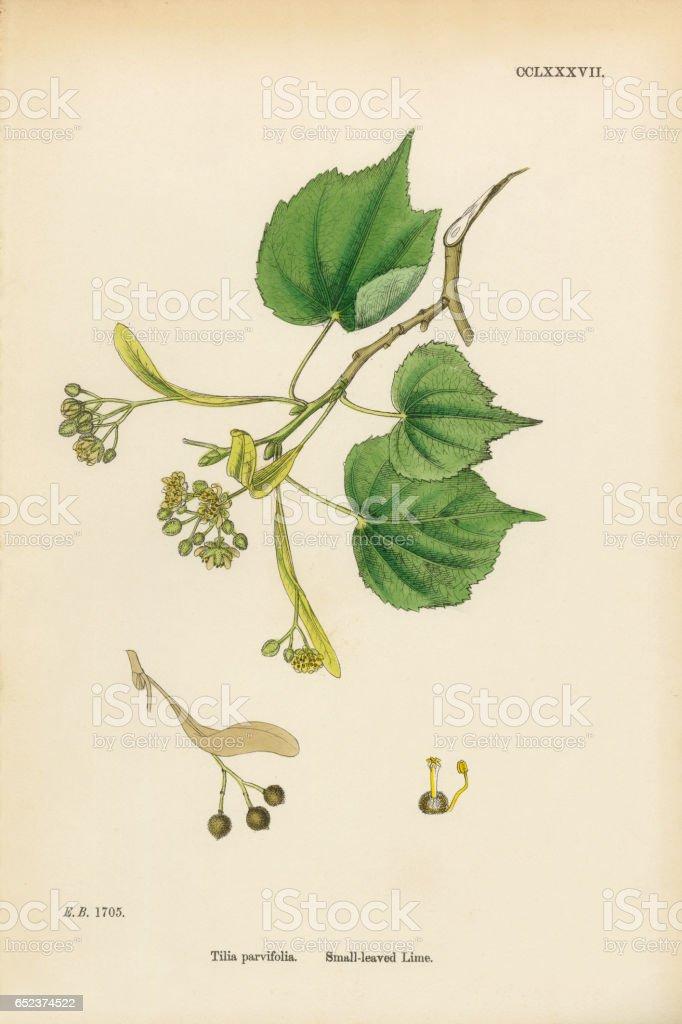 Small-leaved Lime, Tilia parvifolia, Victorian Botanical Illustration, 1863 vector art illustration