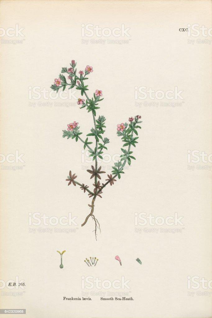 Smooth Sea-Heath, Frankenia Laevis, Victorian Botanical Illustration, 1863 vector art illustration