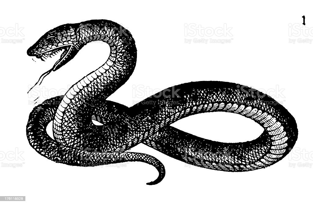 Snake | Antique Animal Illustrations royalty-free stock vector art