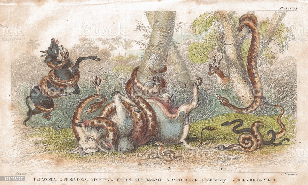 Snakes old litho print from 1852 vector art illustration