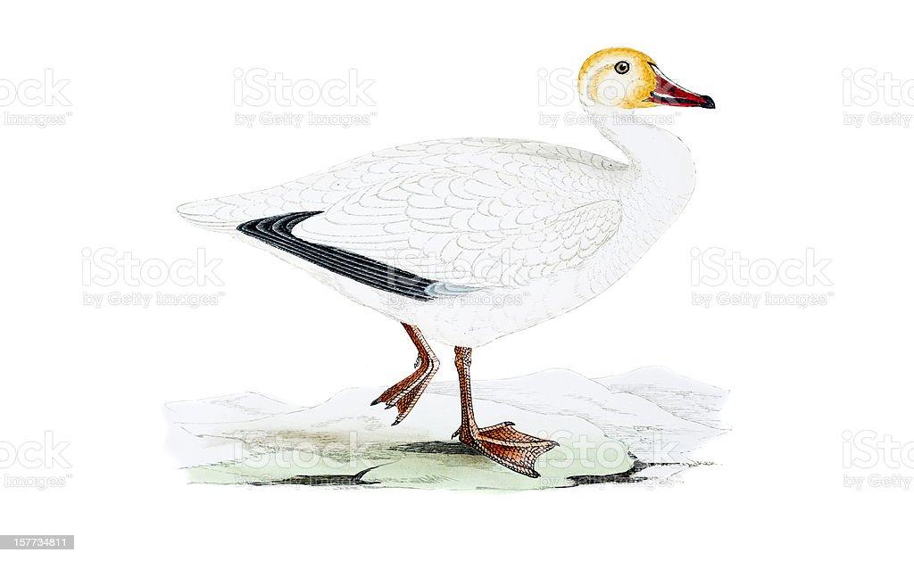 Snow Goose - Hand Coloured Engraving vector art illustration