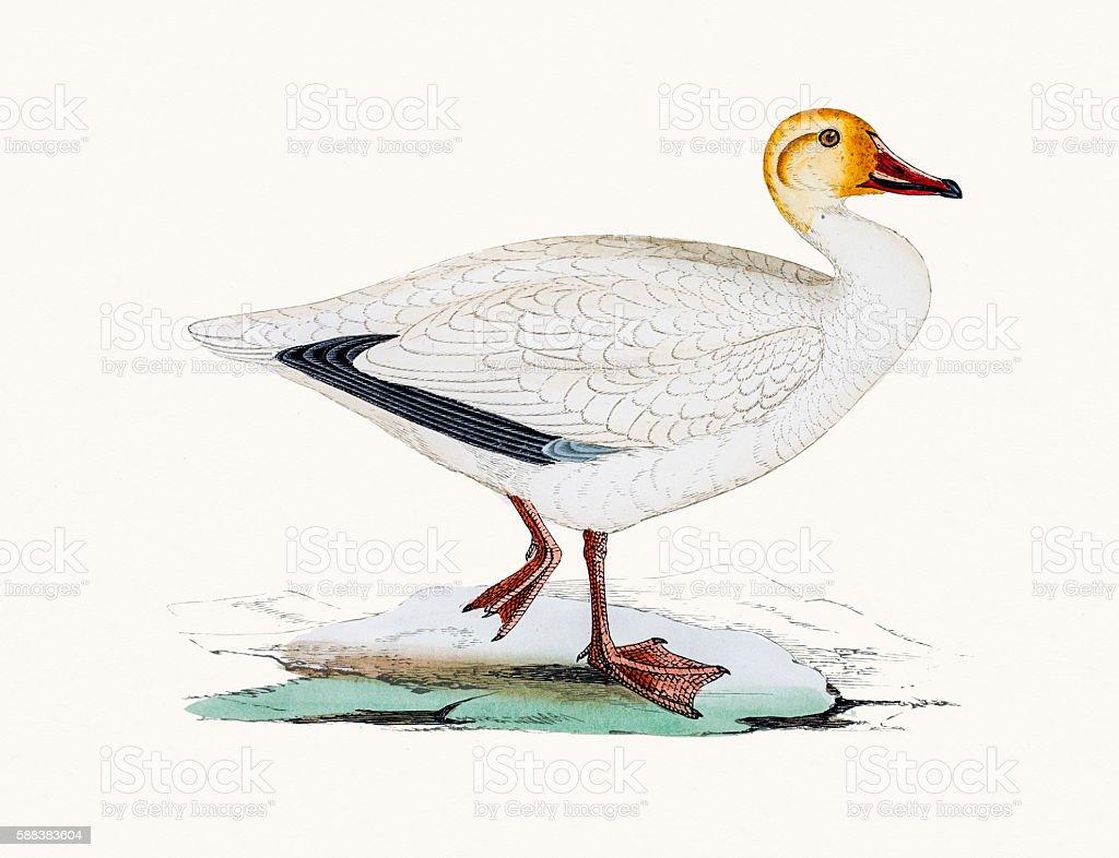 Snow goose vector art illustration