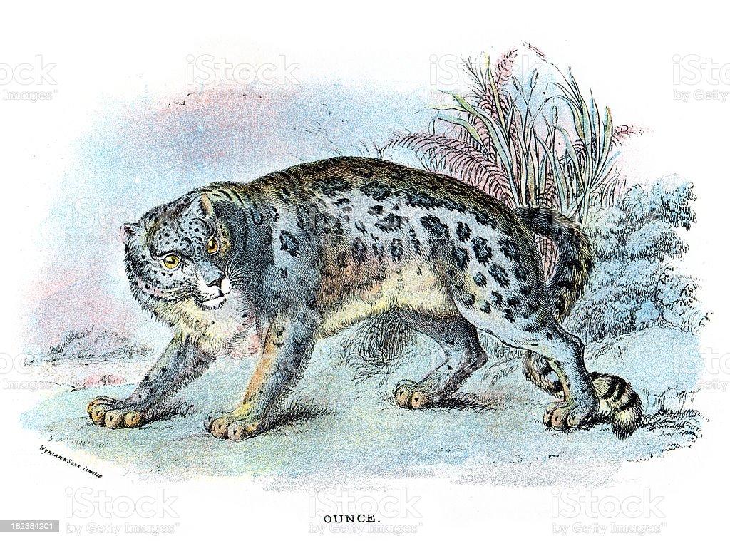 Snow leopard (Panthera uncia) royalty-free stock vector art