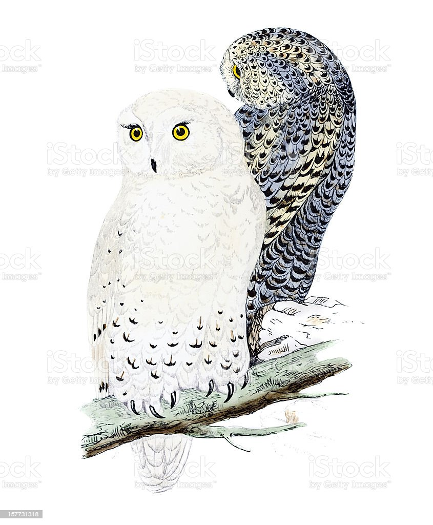 Snowy Owl - Hand Coloured Engraving royalty-free stock vector art