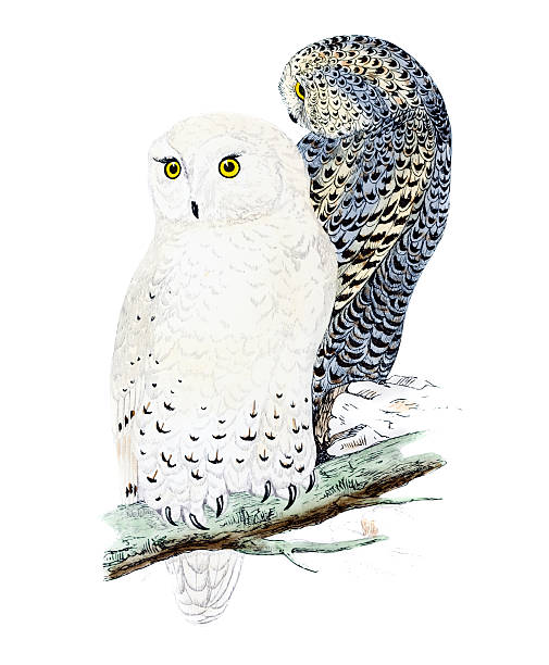 Snowy Owl Clip Art, Vector Images & Illustrations - iStock