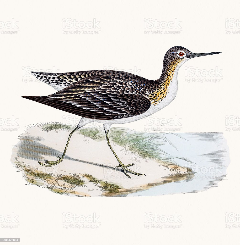 Solitary sandpiper shorebird vector art illustration