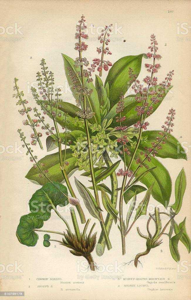 Sorrel, Spurge, Laurel, Wood Sorrel, Buckwheat, Victorian Botanical Illustration vector art illustration