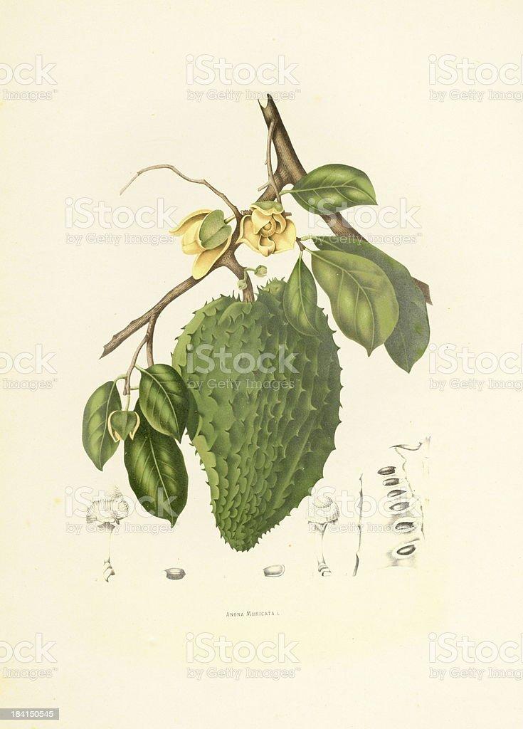 Soursop | Antique Plant Illustrations vector art illustration