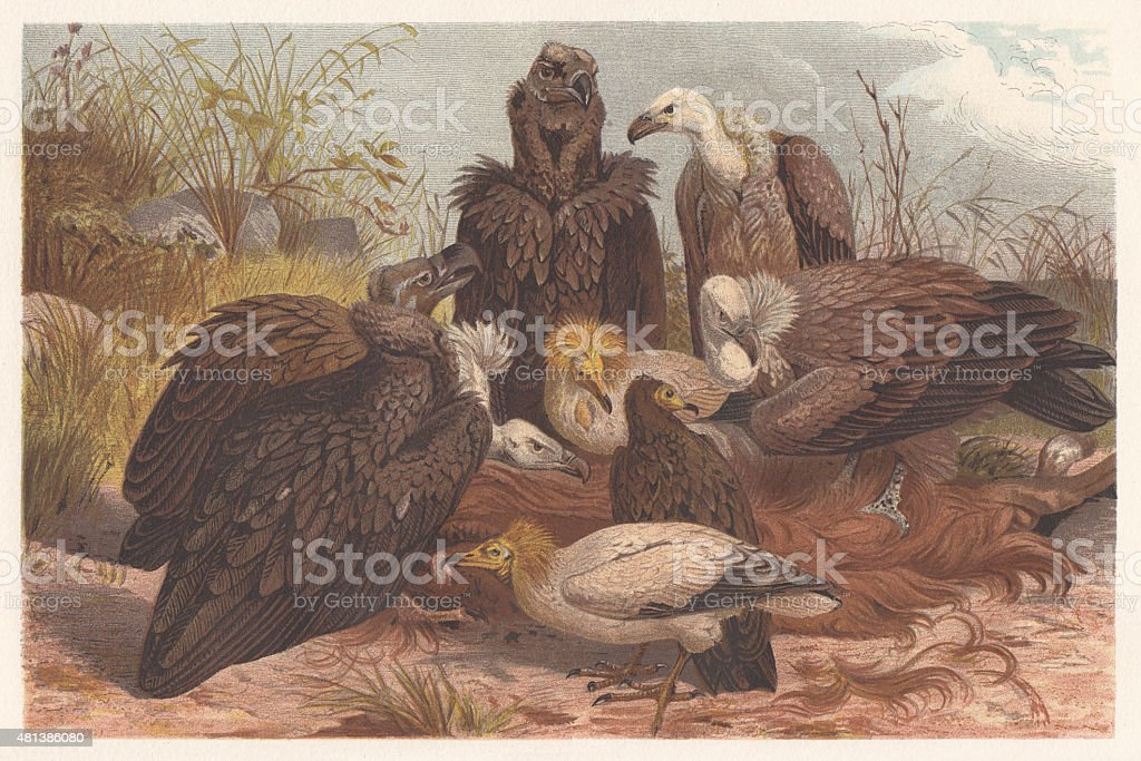 Southern European vultures, lithograph, published in 1882 vector art illustration