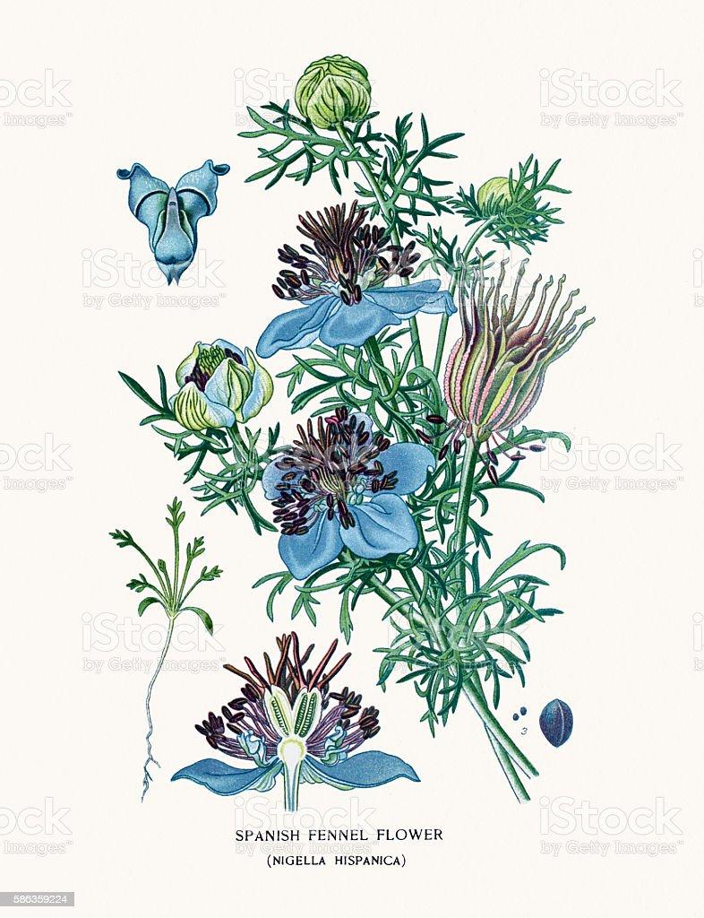 Spanish Fennel Flower vector art illustration