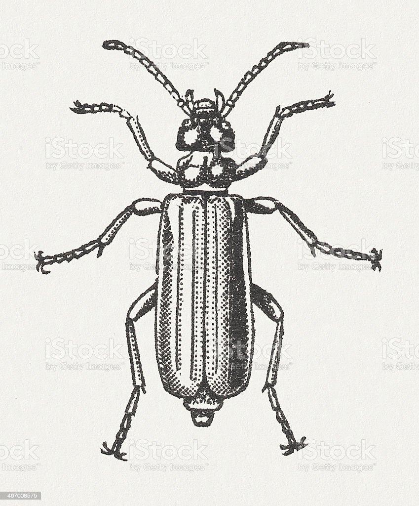 Spanish fly (Lytta vesicatoria, female), wood engraving, published in 1865 royalty-free stock vector art