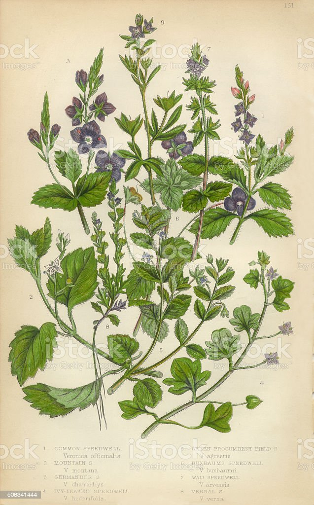 Speedwell, Thyme, Veronica, Victorian Botanical Illustration vector art illustration