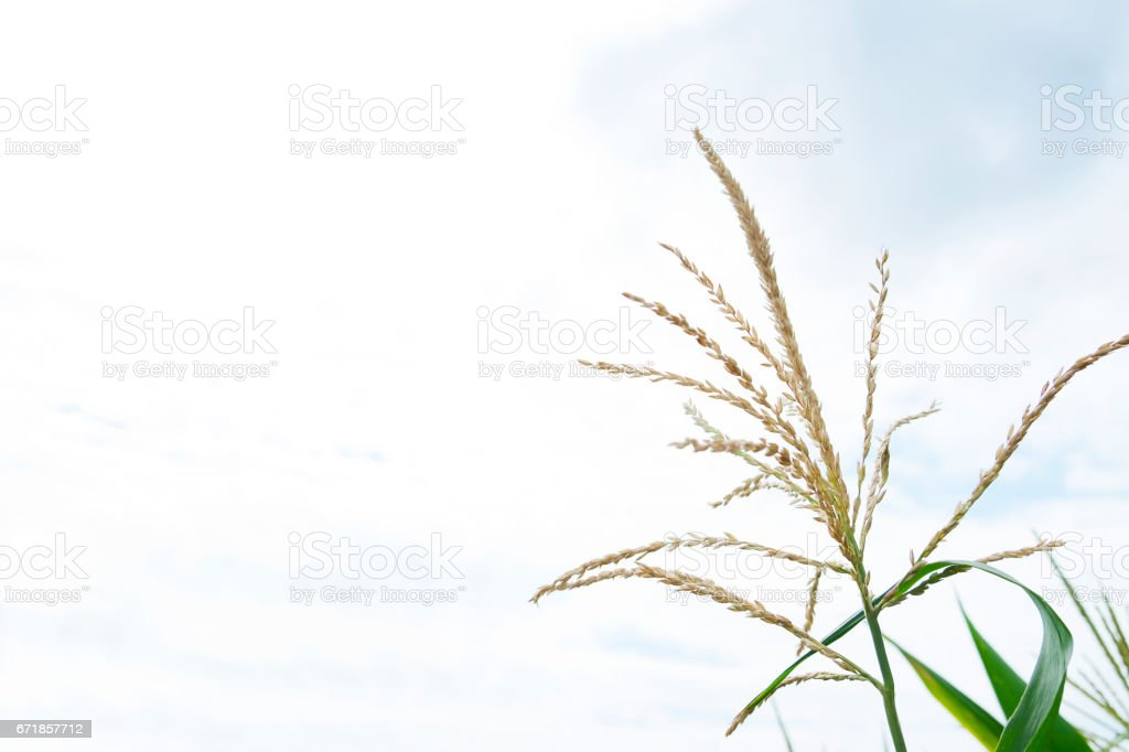 Spikelet of rice in the field on blue sky background vector art illustration