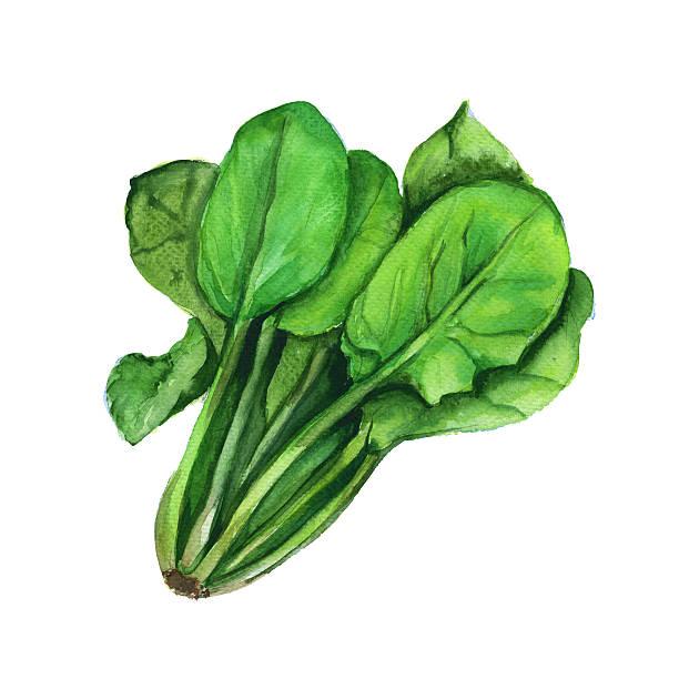 Spinach on Lettuce Clip Art