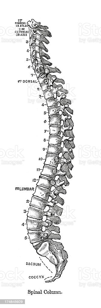Spinal Column vector art illustration