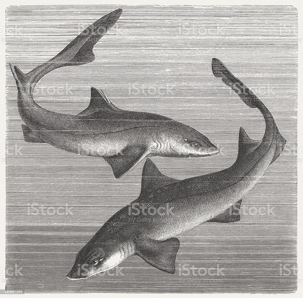 Spiny dogfish and Smooth-hound vector art illustration