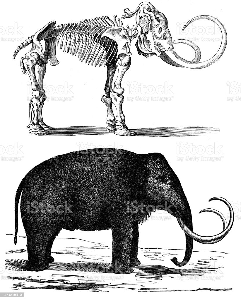 Split black drawing of a mammoth and its skeleton vector art illustration