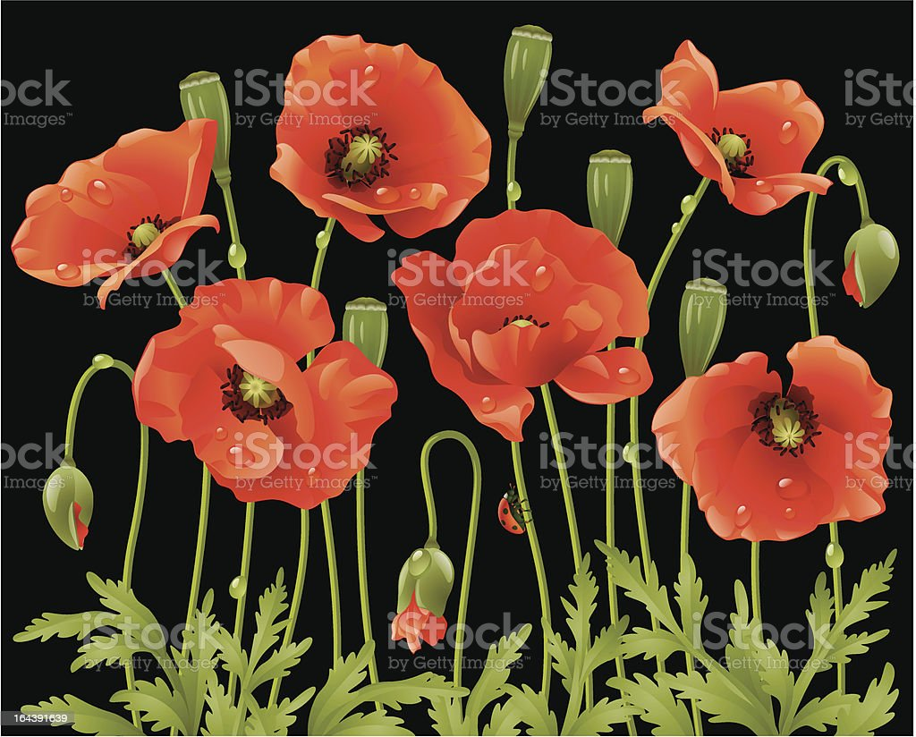 Spring flowers: poppy royalty-free stock vector art