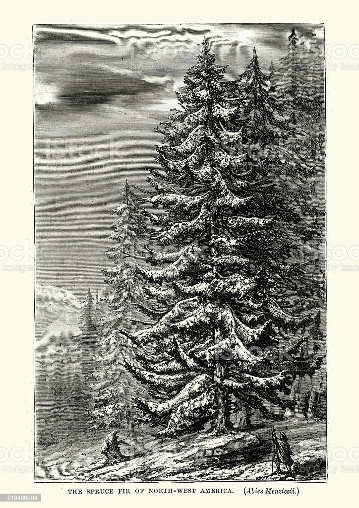 Spruce forest in North West America, 19th Century vector art illustration